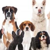 Игра Тест: Собакой какой породы ты мог бы стать?