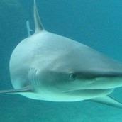 Игра Собери акулу